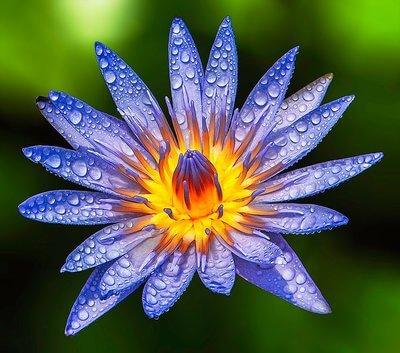 Sexe, mort et lotus bleu : Le Lotus bleu, vénéré dans l'ancienne Égypte